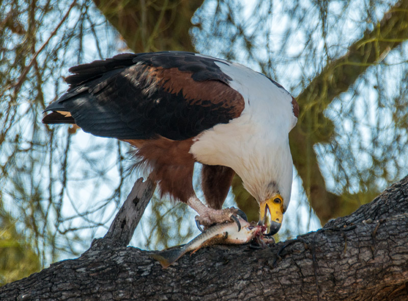 Fish eagle eating a fish. Nikon d800 + Tamron SP AF 150-600mm lens, 600mm @ f/8, 1/640 second, ISO500