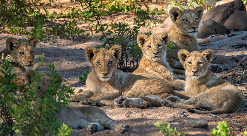 Lion cubs on alert in the late afternoon. Nikon d800 + Tamron AF SP 150-600mm, 600mm @ f/8, 1/640 second, ISO400