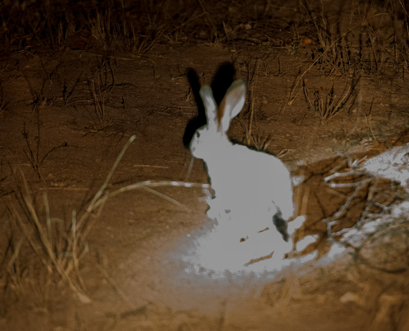 The same scrub hare, grossly overexposed as several flashlights lit it up all at once. No additional detail can be recovered from this image.
